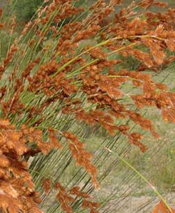 reeds_about2